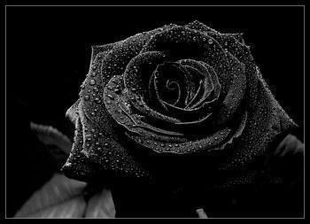 signification rose noire | la pilounette